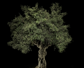 Portrait of an old Olive Tree