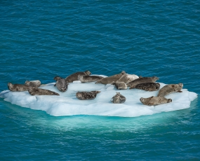 Harbour Seal Iceberg