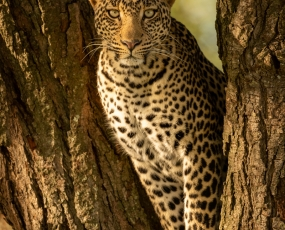 Leopard eyeing camera from fork of tree