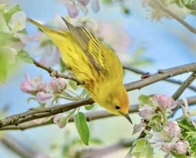 Yellow Warbler smelling crabapple blossoms